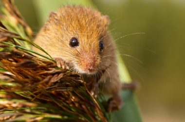 Epigenetic age in the mouse?